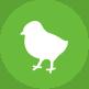 Ovopollo - allevamento, produzione delle uova